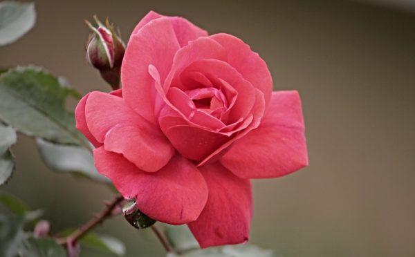 Красивые и прикольные картинки роз - удивительная подборка 13