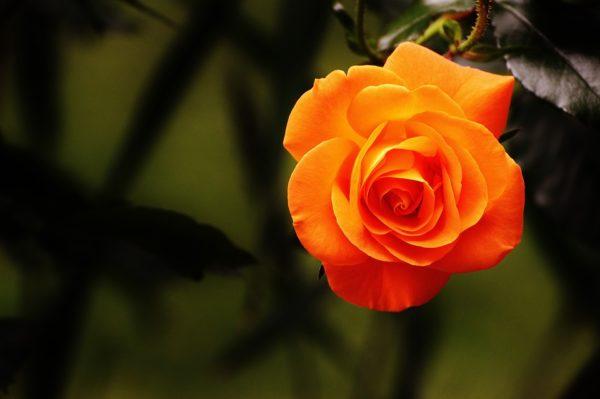 Красивые и прикольные картинки роз - удивительная подборка 14