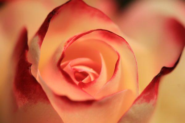 Красивые и прикольные картинки роз - удивительная подборка 4