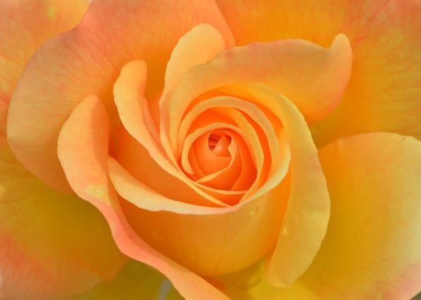 Красивые и прикольные картинки роз - удивительная подборка 5