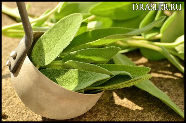 Польза и вред зеленого чая. Какая польза зеленого чая для человека 1