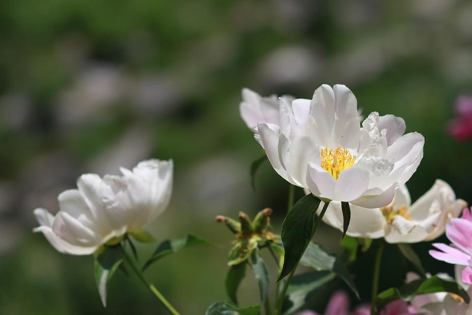 Картинки цветы пионы красивые и интересные - лучшая коллекция 1