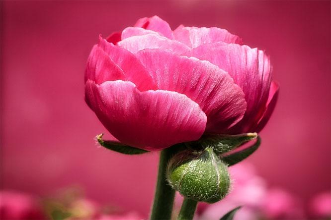 Картинки цветы пионы красивые и интересные - лучшая коллекция 10