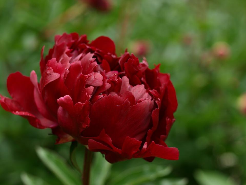 Картинки цветы пионы красивые и интересные - лучшая коллекция 11