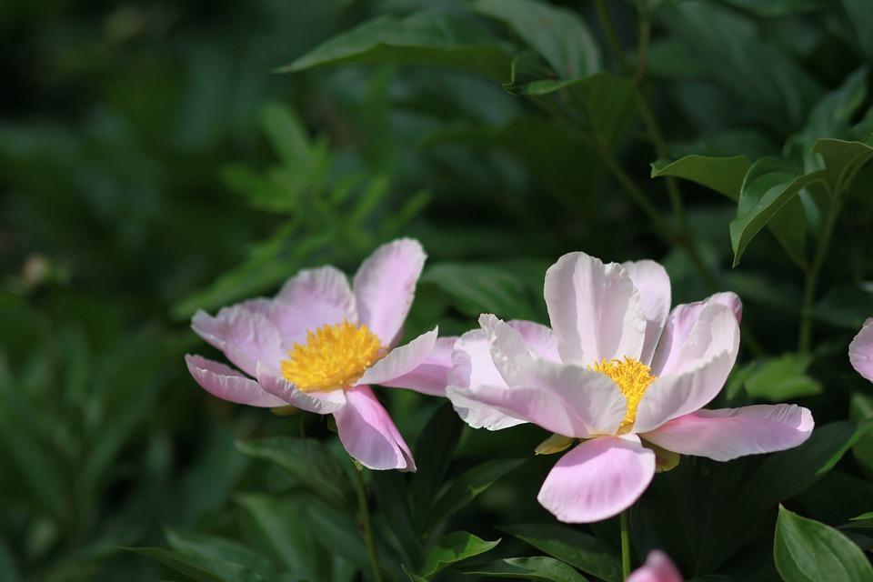 Картинки цветы пионы красивые и интересные - лучшая коллекция 15