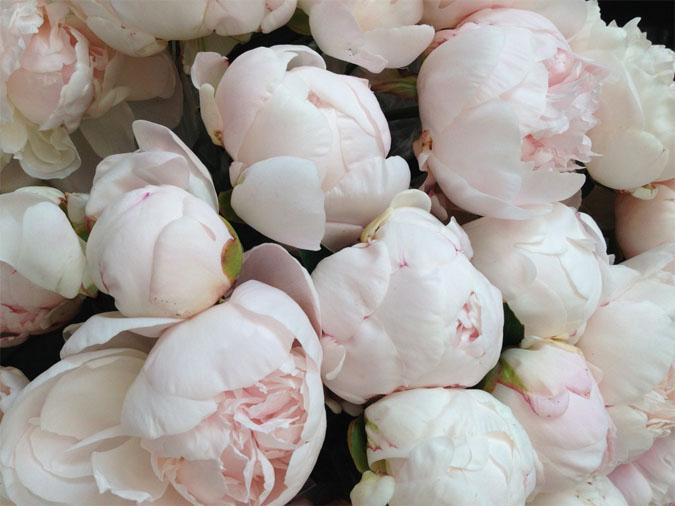 Картинки цветы пионы красивые и интересные - лучшая коллекция 3