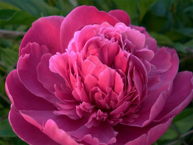 Картинки цветы пионы красивые и интересные - лучшая коллекция 4