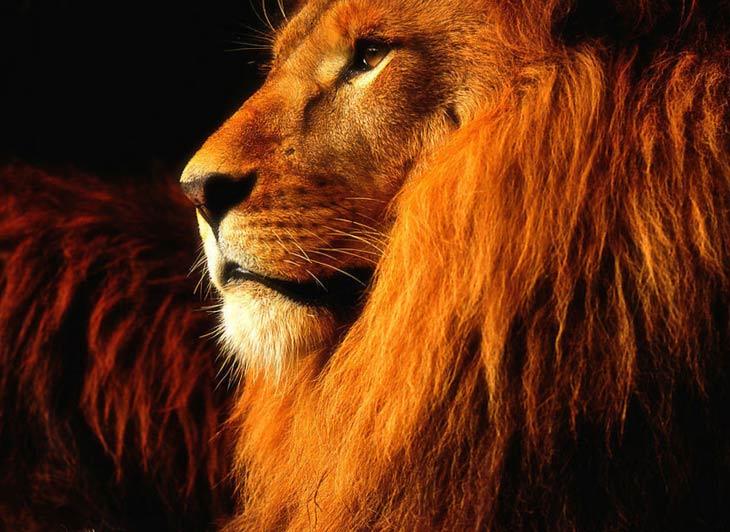 Прикольные и красивые картинки льва и львов - сборка изображений 1