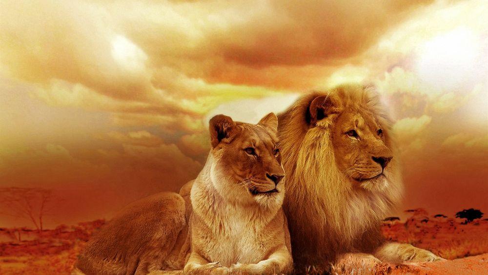 Прикольные и красивые картинки льва и львов - сборка изображений 11