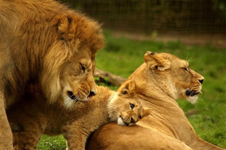 Прикольные и красивые картинки льва и львов - сборка изображений 15