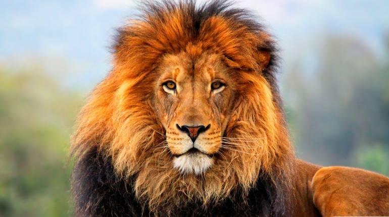 Прикольные и красивые картинки льва и львов - сборка изображений 2