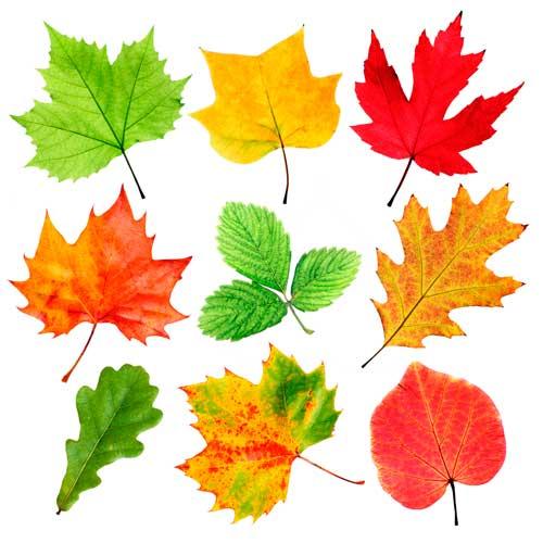 Рисунки и картинки листьев деревьев для детей - красивая подборка 11