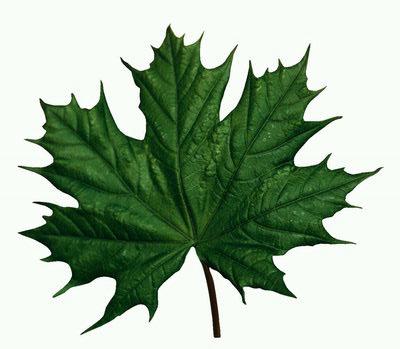 Рисунки и картинки листьев деревьев для детей - красивая подборка 13