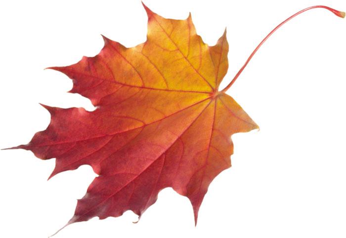Рисунки и картинки листьев деревьев для детей - красивая подборка 14