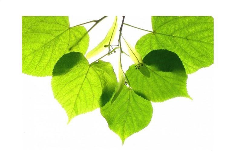 Рисунки и картинки листьев деревьев для детей - красивая подборка 15