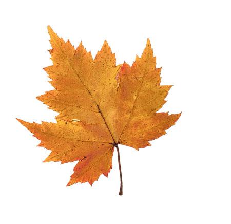 Рисунки и картинки листьев деревьев для детей - красивая подборка 4
