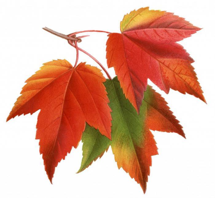 Рисунки и картинки листьев деревьев для детей - красивая подборка 9