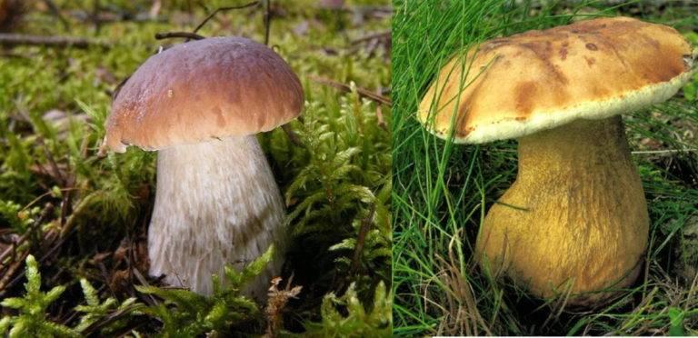 Белый гриб, как отличить от ложного белого гриба - описание, фото 8