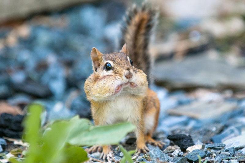 Удивительные фотографии животного бурундука - подборка 1