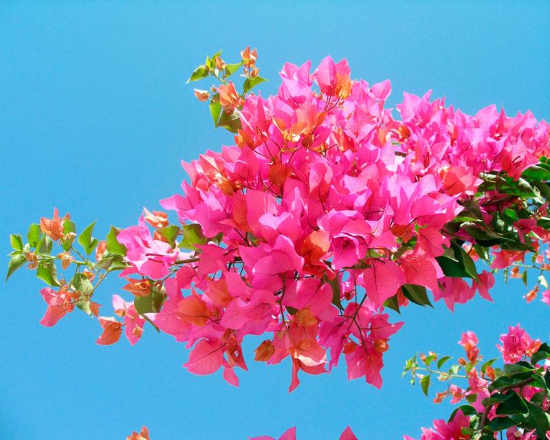 Фотографии цветка Бугенвиллия - красивая подборка 5