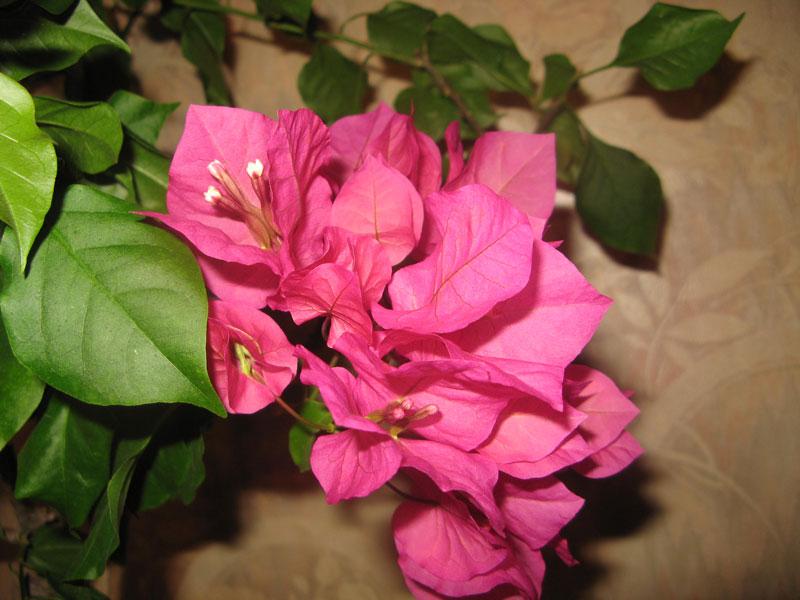 Фотографии цветка Бугенвиллия - красивая подборка 6