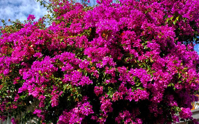 Фотографии цветка Бугенвиллия - красивая подборка 3
