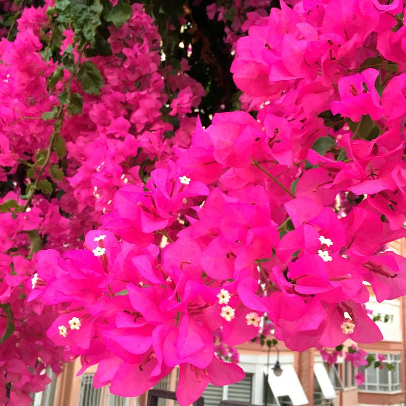 Фотографии цветка Бугенвиллия - красивая подборка 4