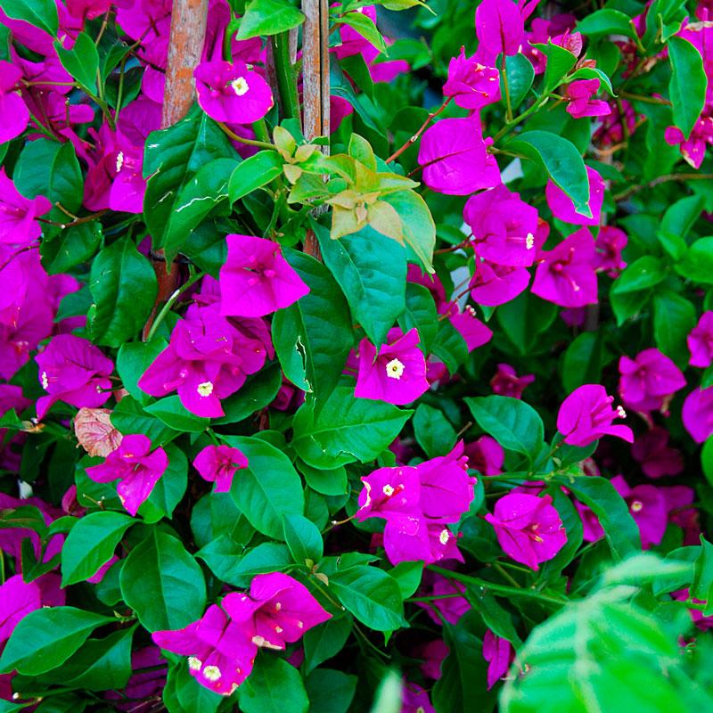 Фотографии цветка Бугенвиллия - красивая подборка 2