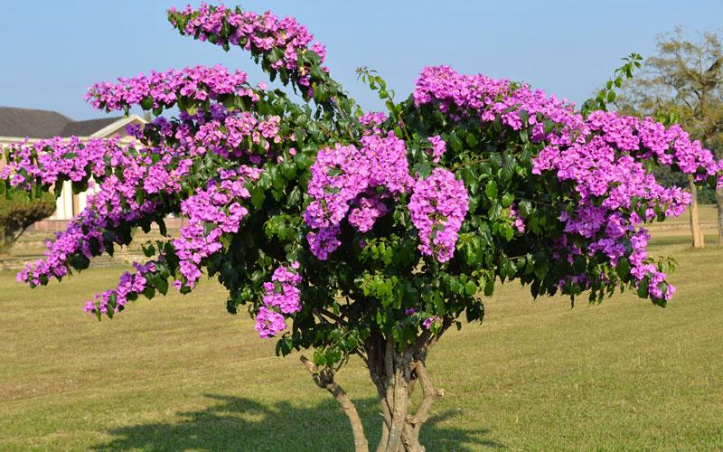 Фотографии цветка Бугенвиллия - красивая подборка 8