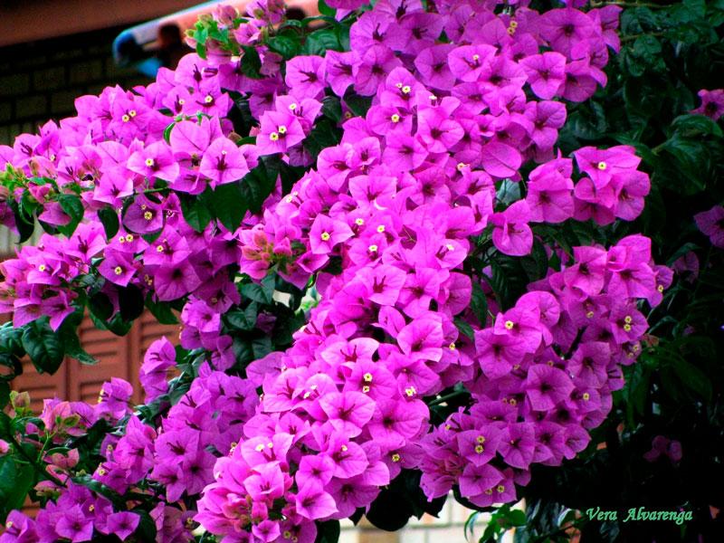 Фотографии цветка Бугенвиллия - красивая подборка 14