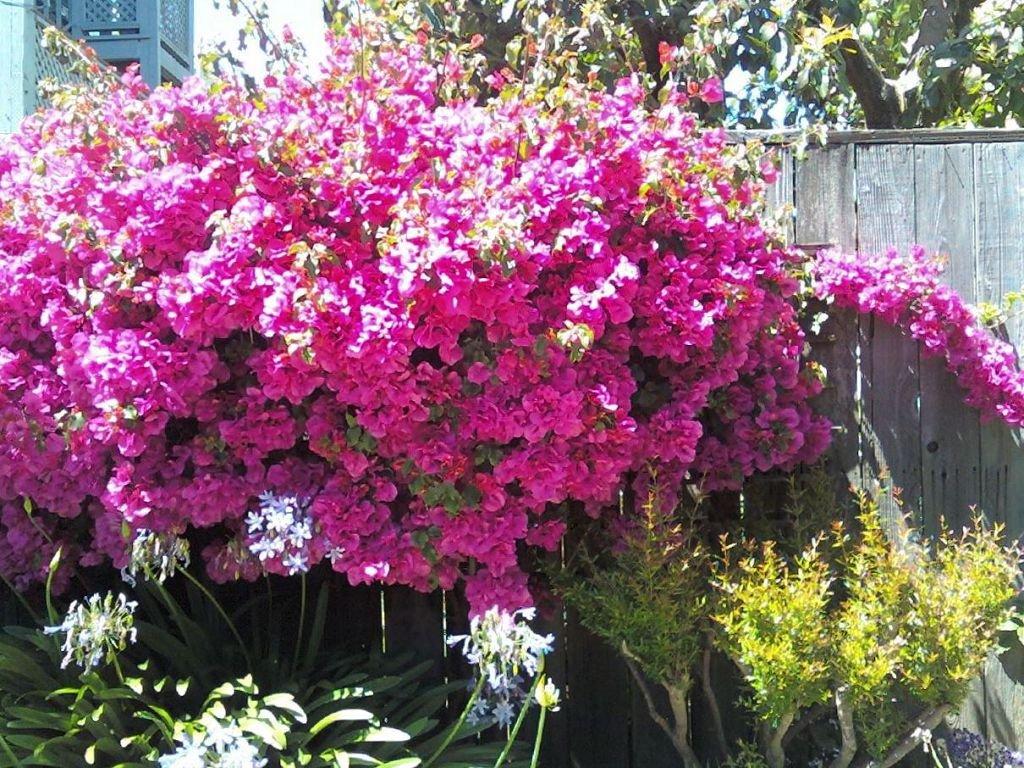 Фотографии цветка Бугенвиллия - красивая подборка 7