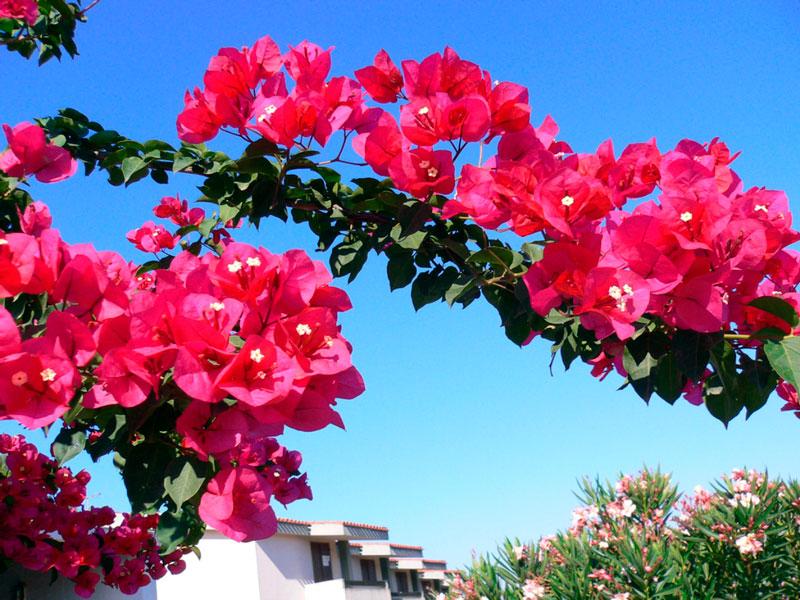 Фотографии цветка Бугенвиллия - красивая подборка 9