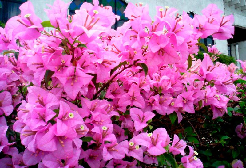 Фотографии цветка Бугенвиллия - красивая подборка 10
