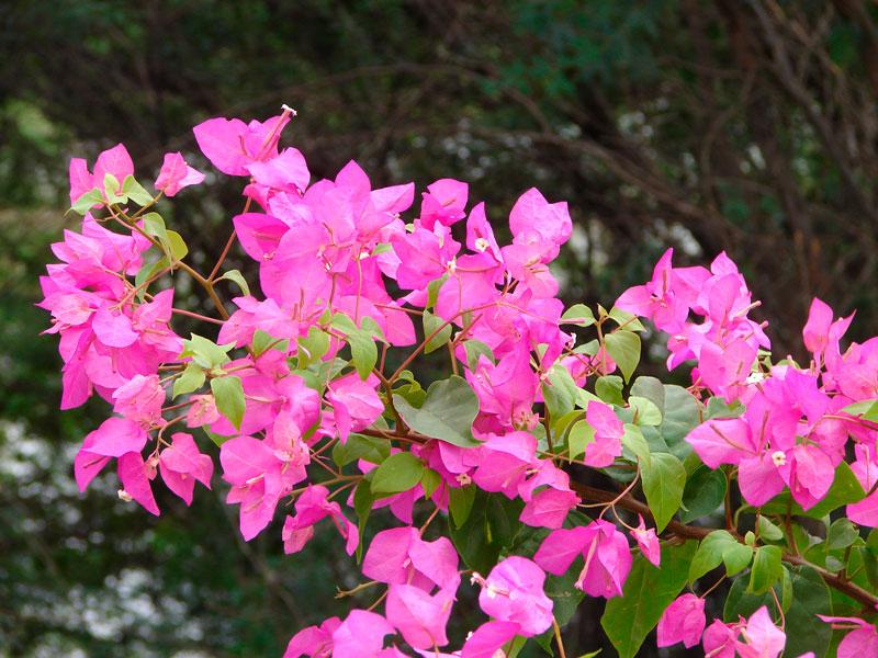 Фотографии цветка Бугенвиллия - красивая подборка 11