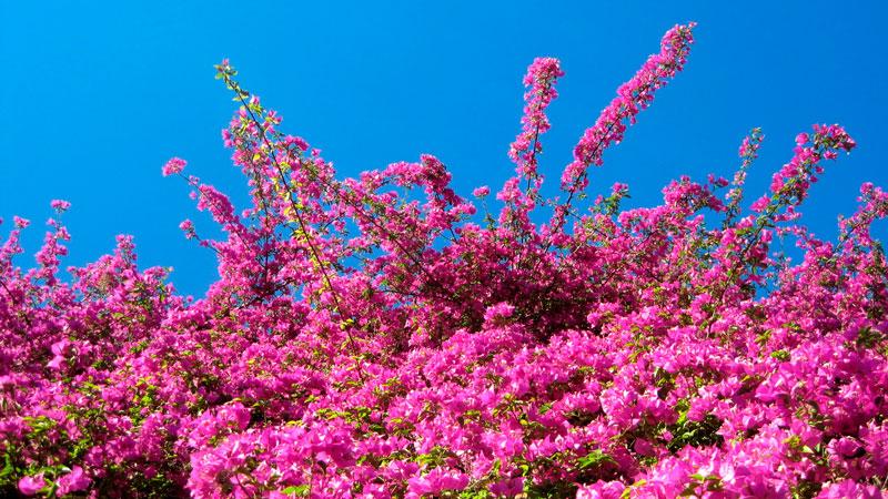 Фотографии цветка Бугенвиллия - красивая подборка 12