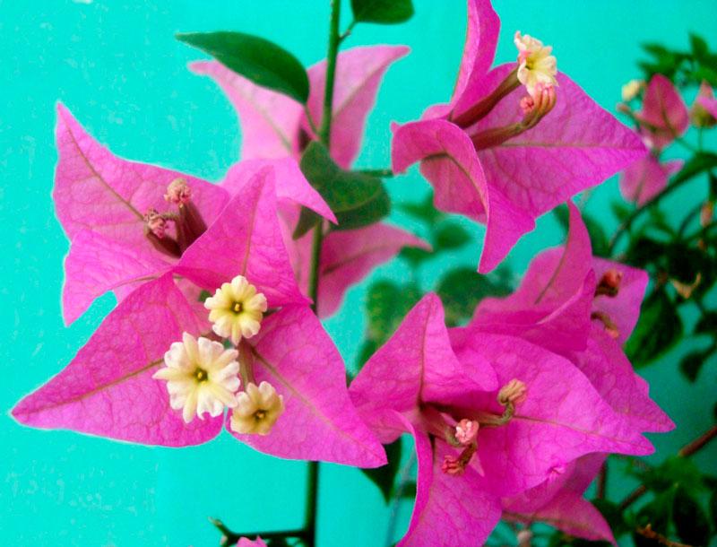 Фотографии цветка Бугенвиллия - красивая подборка 13