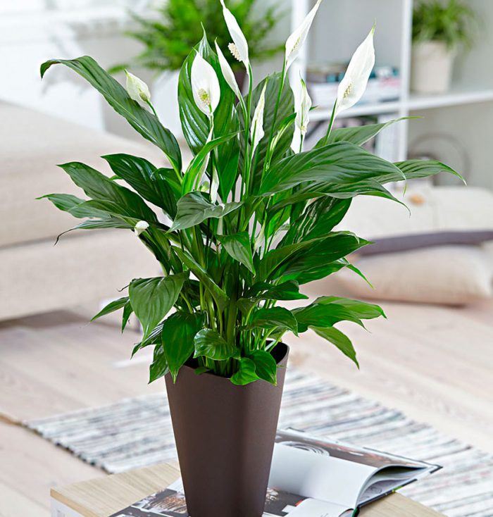Лучшие комнатные растения для дома - список универсальных растений 3