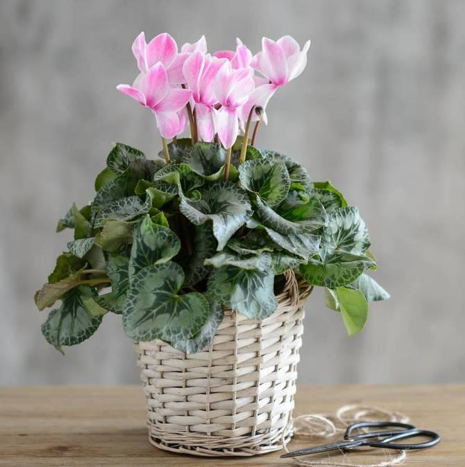 Лучшие комнатные растения для дома - список универсальных растений 5