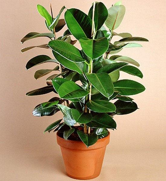 Лучшие комнатные растения для дома - список универсальных растений 6