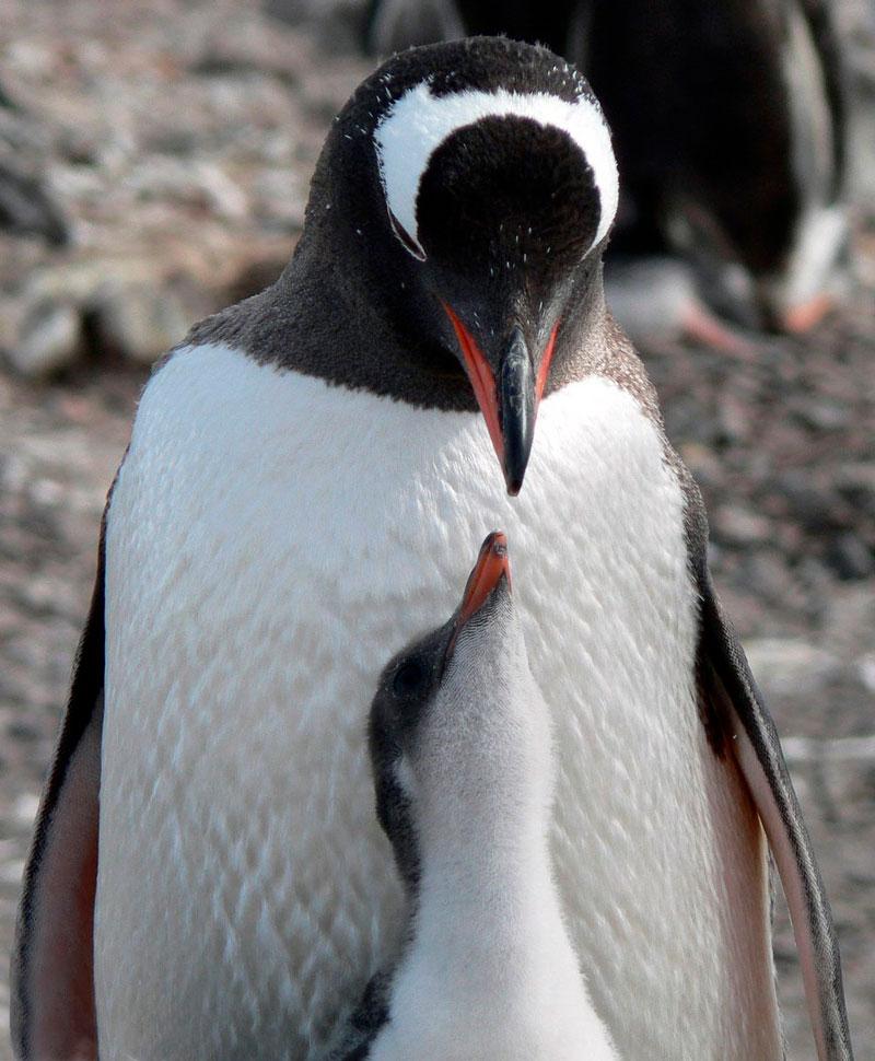 Прикольные и красивые картинки пингвинов - подборка 25 фото 4