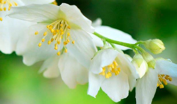 Красивые и удивительные фотографии цветов Жасмин - подборка 1
