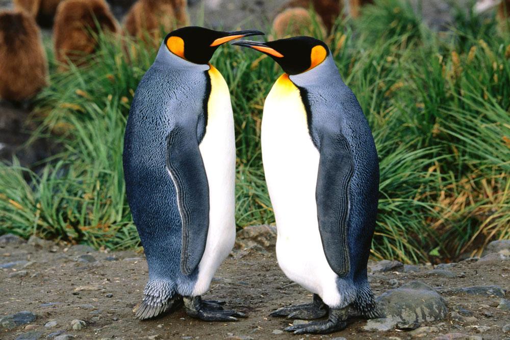 Прикольные и красивые картинки пингвинов - подборка 25 фото 9
