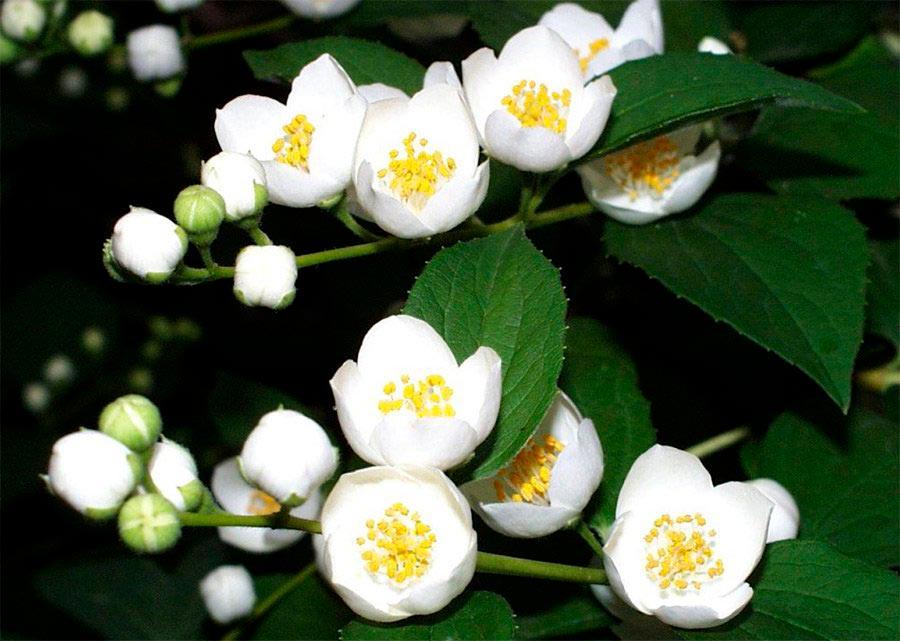 Красивые и удивительные фотографии цветов Жасмин - подборка 2
