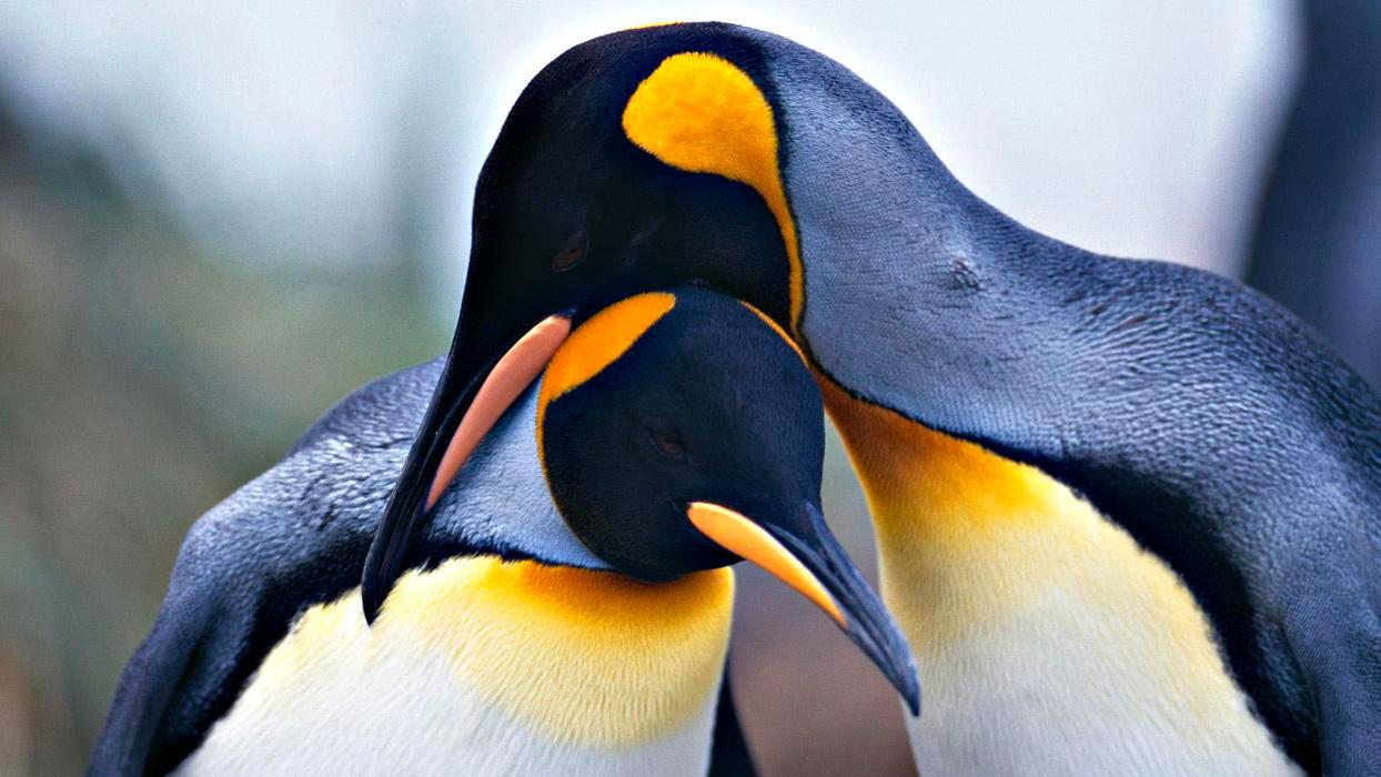 Прикольные и красивые картинки пингвинов - подборка 25 фото 6