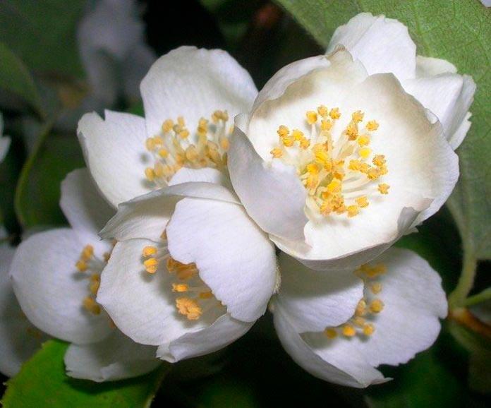 Красивые и удивительные фотографии цветов Жасмин - подборка 3