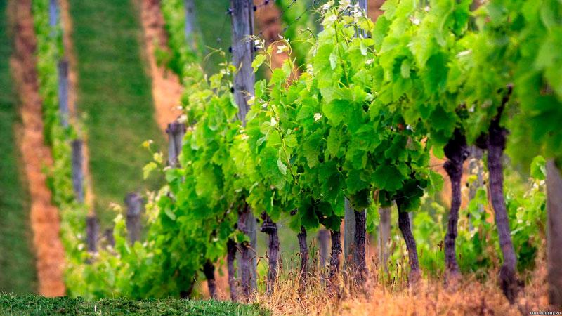 Подборка картинок виноградная лоза - 20 фотографий 1