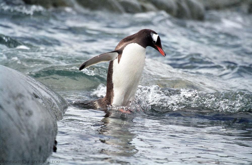 Прикольные и красивые картинки пингвинов - подборка 25 фото 12