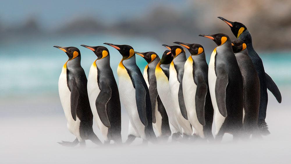 Прикольные и красивые картинки пингвинов - подборка 25 фото 19