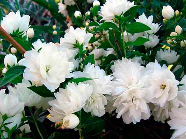 Красивые и удивительные фотографии цветов Жасмин - подборка 4