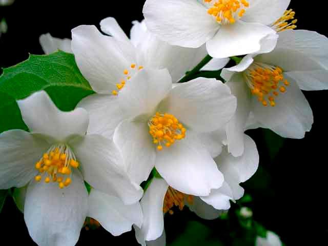 Красивые и удивительные фотографии цветов Жасмин - подборка 5